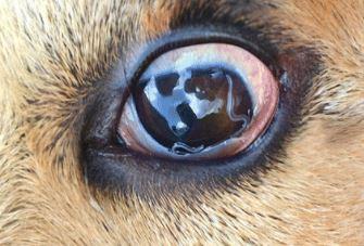 infezione oculare ripetuta dal cane